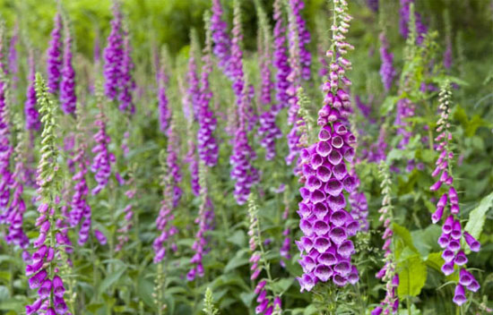 """Image search results for """"Digitalis"""""""